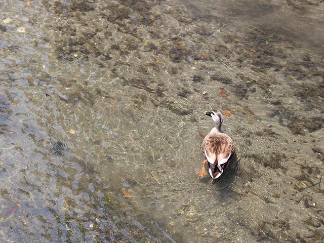 米川を泳ぐマガモ