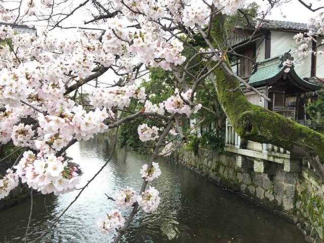 湖北ビギナー☆どんどんから歩いて3分!日吉神社の桜は見物です。