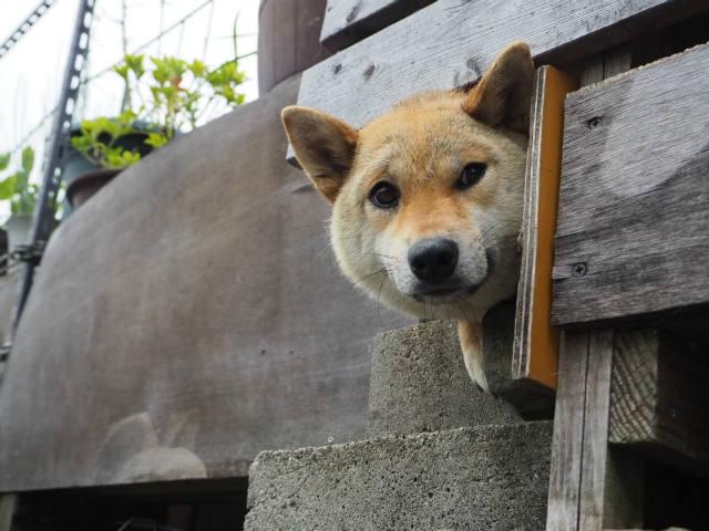 アイドル犬はなちゃん