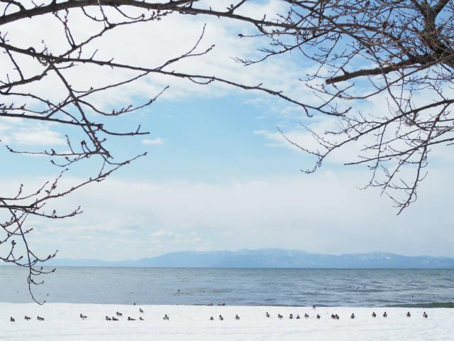 琵琶湖 水鳥 豊公園