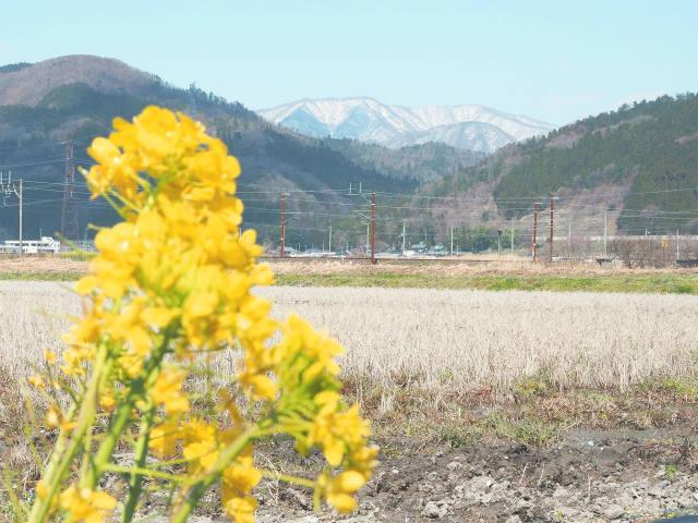 雪山と菜の花